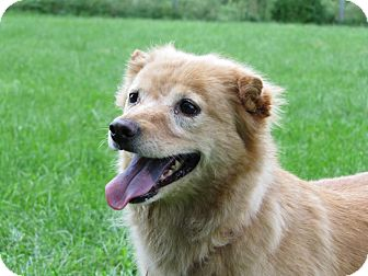 Shiba Inu/Terrier (Unknown Type, Small) Mix Dog for adoption in Lafayette, New Jersey - Poppy