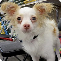 Chihuahua Dog for adoption in Studio City, California - Tony