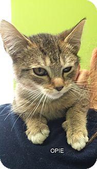 Domestic Shorthair Kitten for adoption in Hibbing, Minnesota - OPIE