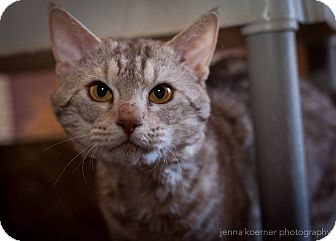 Ocicat Cat for adoption in Los Angeles, California - Rio