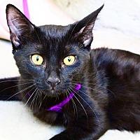 Bombay Kitten for adoption in Los Angeles, California - Brom Bones