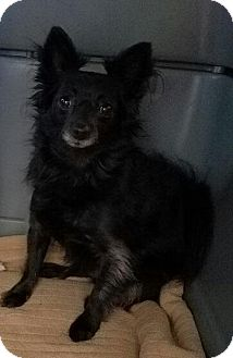 Pomeranian/Papillon Mix Dog for adoption in Flower Mound, Texas - Pickles