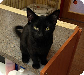 Bombay Kitten for adoption in Edgewater, New Jersey - Onyx