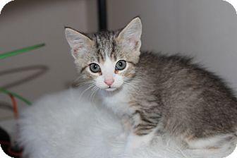 American Shorthair Kitten for adoption in San Jose, California - Venkman