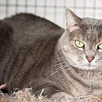 Adopt A Pet :: Felony (Kitty) - Freeport, NY