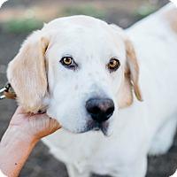 Adopt A Pet :: Buddy the Bassador - Los Angeles, CA