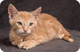 Domestic Shorthair Cat for adoption in Davis, California - Leo