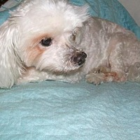 Maltese Dog for adoption in Chattanooga, Tennessee - Prince Charming (FL)