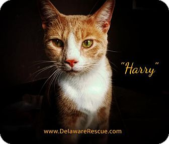 Domestic Shorthair Kitten for adoption in Seaford, Delaware - Harry