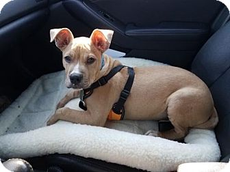 Staffordshire Bull Terrier Puppy for adoption in Washington, D.C. - Levi (Needs Foster)