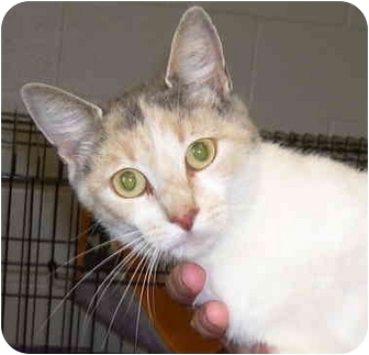 Domestic Shorthair Cat for adoption in Somerset, Pennsylvania - Joyce