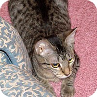 Domestic Shorthair Cat for adoption in Round Rock, Texas - Skeeters