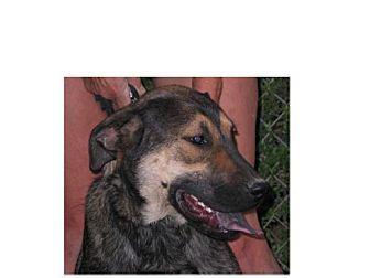 German Shepherd Dog/Shepherd (Unknown Type) Mix Dog for adoption in Phoenix, Arizona - Frasier