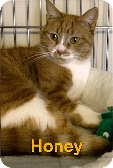 Domestic Shorthair Cat for adoption in Medway, Massachusetts - Honey