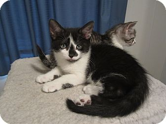 Domestic Shorthair Kitten for adoption in Chesterfield Township, Michigan - Spencer