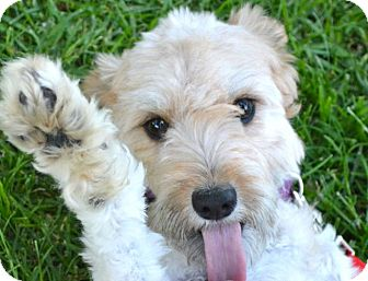 Airedale Terrier/Poodle (Miniature) Mix Puppy for adoption in Los Angeles, California - Bazel