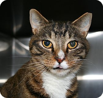 Brown Tiger Adopted Cat Ledyard Ct Domestic Shorthair