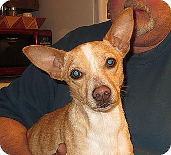 Corgi/Dachshund Mix Puppy for adoption in Allentown, Pennsylvania - Sammy