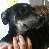 Adopt A Pet :: Panther - Phoenix, AZ