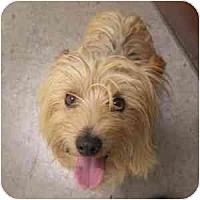 Adopt A Pet :: Bowie - Phoenix, AZ
