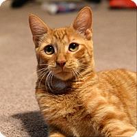 Adopt A Pet :: Ginja - Phoenix, AZ