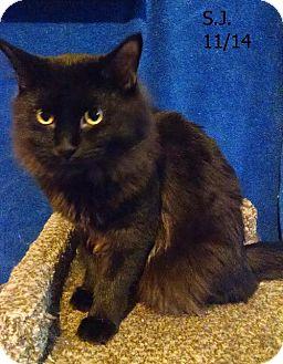 Domestic Longhair Cat for adoption in Plain City, Ohio - SJ