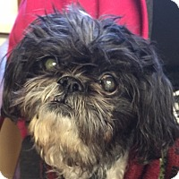 Shih Tzu Mix Dog for adoption in Hurricane, Utah - TATER