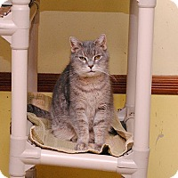 American Shorthair Cat for adoption in Middletown, New York - Precious