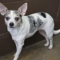 Adopt A Pet :: Kiku - Los Alamitos, CA