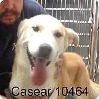Adopt A Pet :: Casear - baltimore, MD