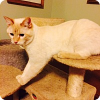 Siamese Cat for adoption in Chattanooga, Tennessee - Malcolm