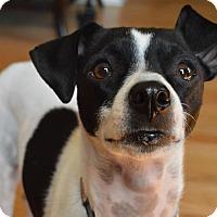 Adopt A Pet :: Piper - Rochester Hills, MI