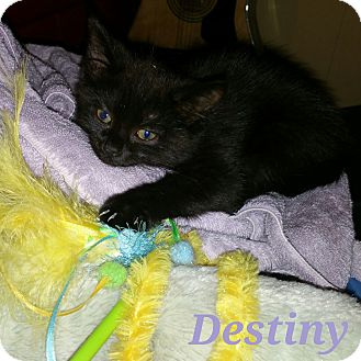 Domestic Shorthair Kitten for adoption in Great Mills, Maryland - Destiny