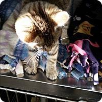 Adopt A Pet :: Shakeria - Chippewa Falls, WI
