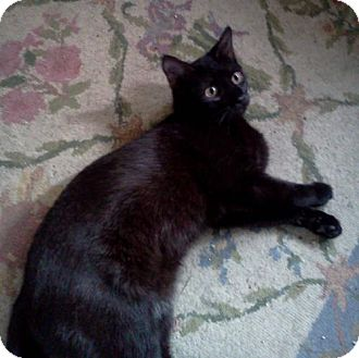 Domestic Shorthair Cat for adoption in Greenville, Delaware - Emma (FCID# 11/19/2015 - 53 Foster Home)