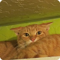Adopt A Pet :: Cheeto - Coos Bay, OR