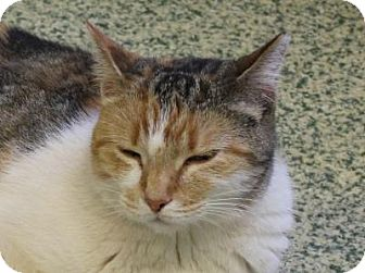 Domestic Shorthair Cat for adoption in Indianapolis, Indiana - Astoria