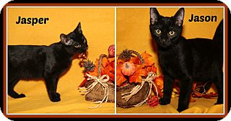 Domestic Shorthair Kitten for adoption in Marietta, Ohio - Jason & Jasper (Neutered)