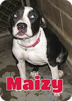 Pit Bull Terrier Dog for adoption in Lawrenceburg, Kentucky - #180 Maizy - sponsored