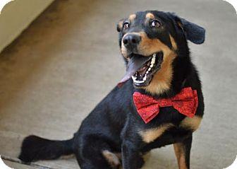 Rottweiler/Shepherd (Unknown Type) Mix Dog for adoption in McKinney, Texas - Hal