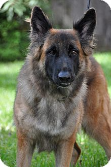 German Shepherd Dog Dog for adoption in Dripping Springs, Texas - Ava