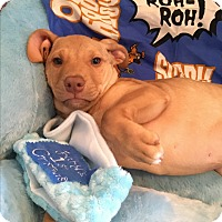 Adopt A Pet :: Colby-ADOPTION PENDING - East Windsor, CT