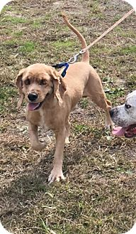 Cocker Spaniel Dog for adoption in Spring Lake, New Jersey - SCRUFFY