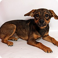Adopt A Pet :: Sarge TerrierMix - St. Louis, MO