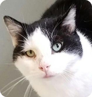 Domestic Shorthair Cat for adoption in Colfax, Iowa - Trevor