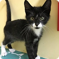 Domestic Shorthair Kitten for adoption in Maryville, Missouri - Bagote