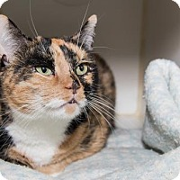Domestic Shorthair Cat for adoption in Lowell, Massachusetts - Penny