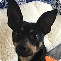 Adopt A Pet :: Jo Jo - Lexington, KY