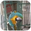 Photo 2 - Macaw for adoption in Neenah, Wisconsin - Jasper