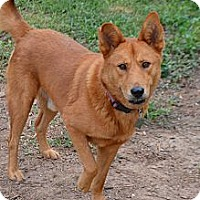 Chow Chow/Shepherd (Unknown Type) Mix Dog for adoption in Houston, Texas - Riley